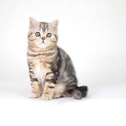Scottish Shorthair kitten.jpg