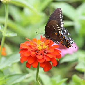 Lure butterflies with these tips