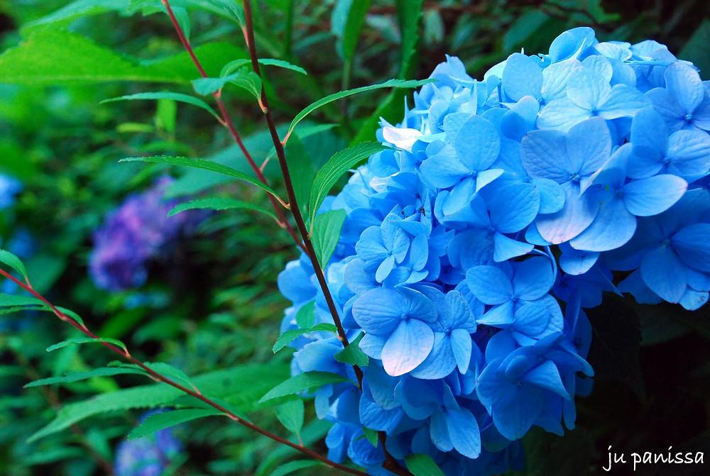 hortensia2.jpg