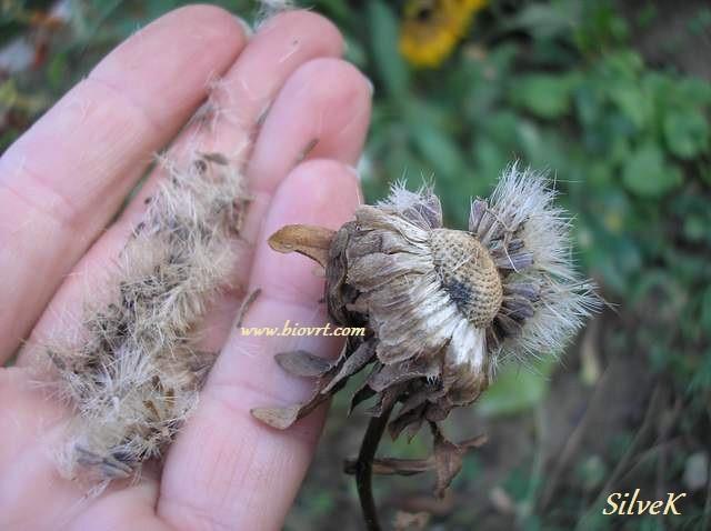 Callistephus-chinensis sementes.jpg