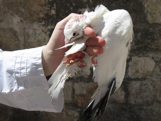 חטאת העוף