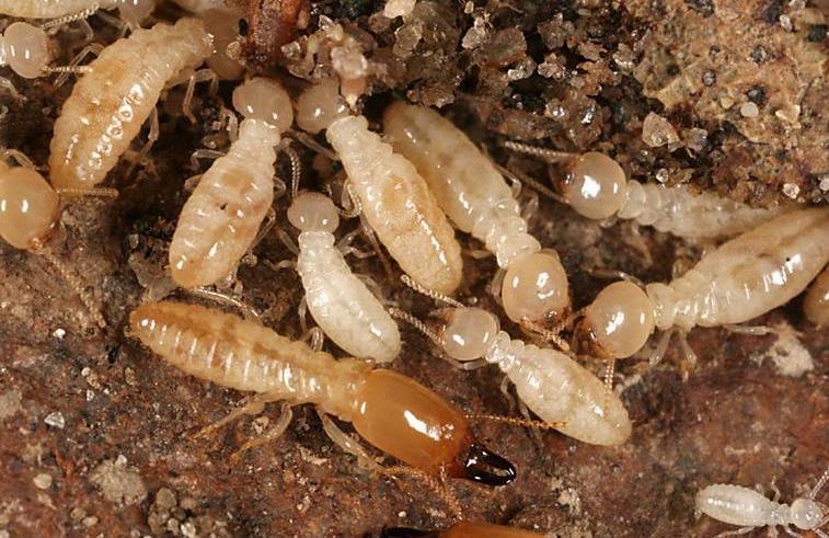 background termite.jpg