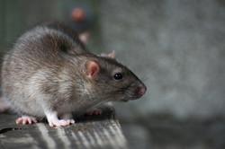 background rats.jpg