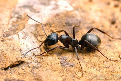 background ant.jpg