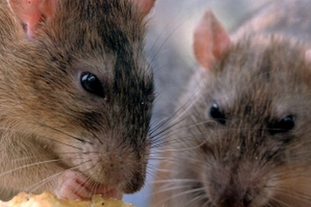 Rats in House Lancashire