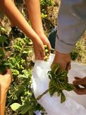 recolte du houblon bio de Villier.jpg