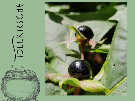 🌿Tollkirsche (Atropa belladonna) 🌿                ☠️ sehr giftig! ☠️