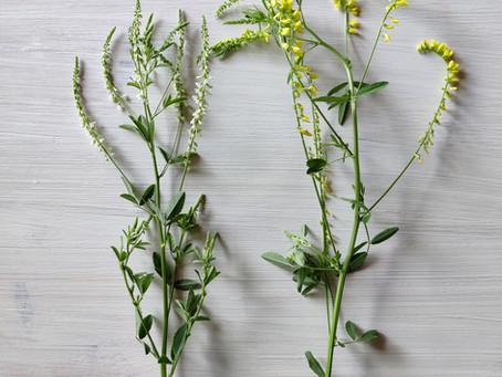 🌿Weisser Steinklee (Melilotus albus)/ Echter Steinklee (Melilotus officinalis)🌿