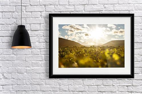 Vines Sunset