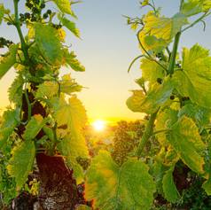 Sunset with the Grapes