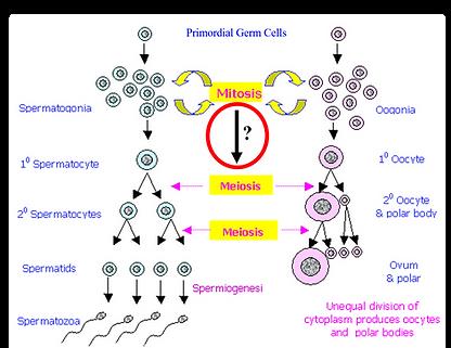Figure 3 Mitotic to Meiotic Transition.p