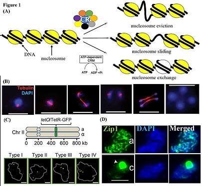 Figure 1 CRs in meiosis.png