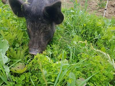 Pastured Pigs Pastured Pork Forage Grass