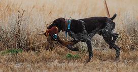 South-Dakota-pheasant-hunting.jpg
