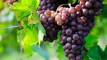 Conférence sur la monodiète et la cure de raisin, mercredi 19 septembre