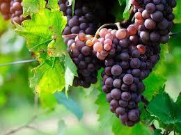 Atelier cuisine et naturo : le raisin - samedi 3 octobre 2020