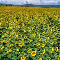 Sunflower Field, Church Farm, Stanton St Bernard, Devizes, Wiltshire - Catherine Fallon Operations