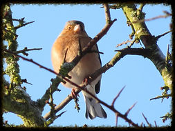 Chaffinch - Henry's Bird Boxes