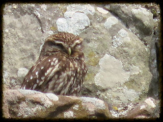 Little Owl - Henry's Bird Boxes