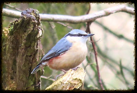 Nuthatch - Henry's Bird Boxes