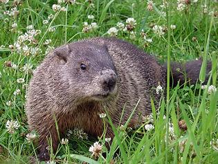 Michigan groundhog removal.