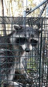 Michigan raccoon removal.