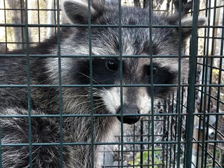 Raccoon Season Is Here.
