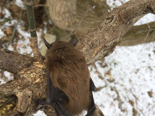 After Hours Winter Bat Removal.