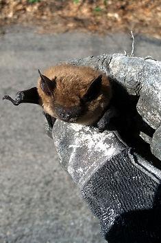 24 Hour bat removal Michigan