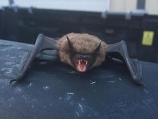 Active Bats During Warm Winter Days