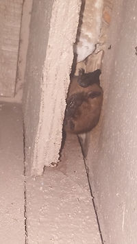 Bat Removal Michigan