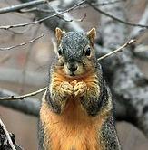 Michigan fox squirrel removal.
