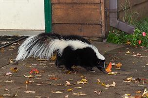 Michigan skunk removal.