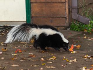 Rabid skunk discovered in Genesee county.
