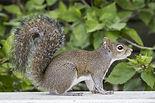 Michigan gray squirrel removal.