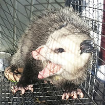 Michigan opossum removal.
