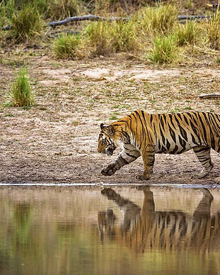 Bandhavgarh-Male-Tiger.jpg