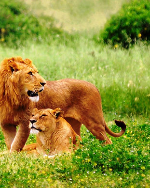 lion-animal-in-forest-beautiful-wallpape