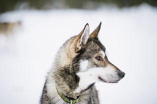 Husky Visit Finland.jpg