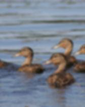 duck-416972_1920 sorsapoikues pixabay.jp