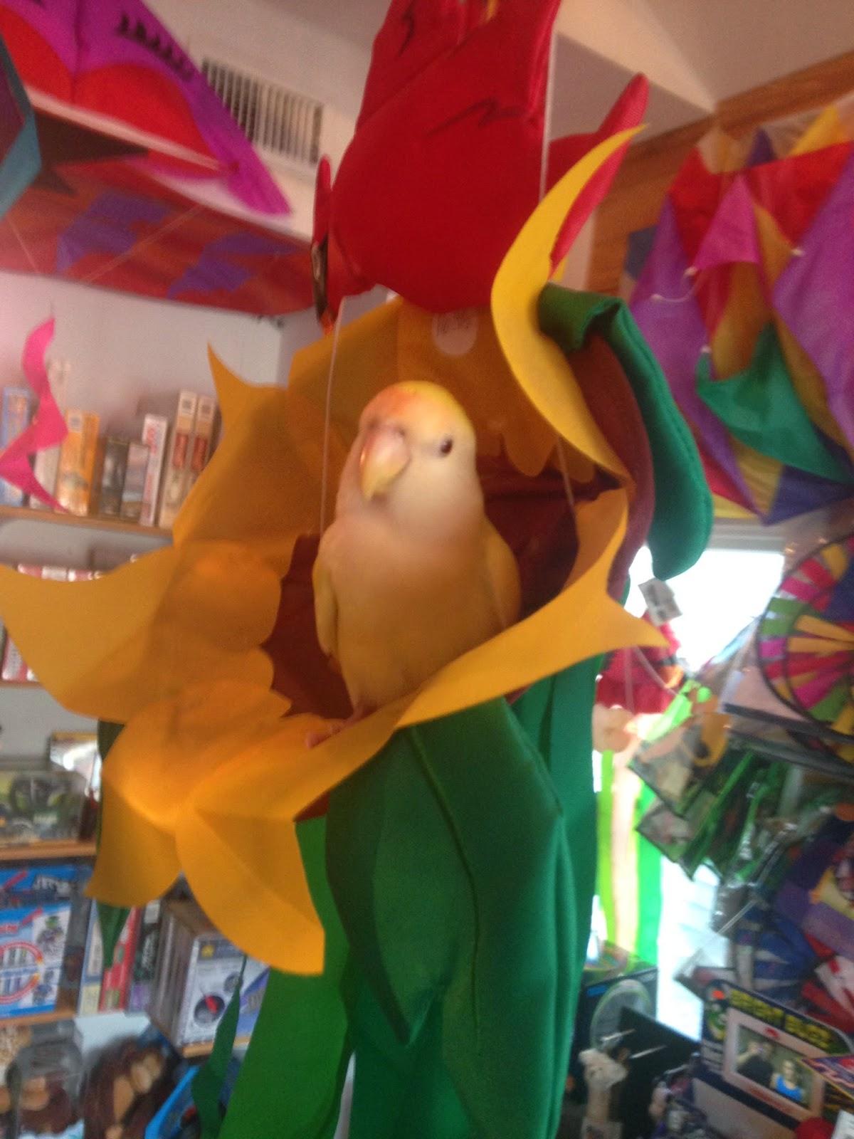 Holly the Lovebird