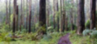 Dandenong trees.jpg