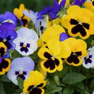 close-up-of-fresh-purple-yellow-flowers-