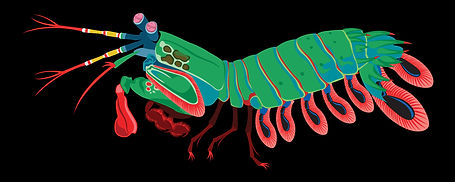 Mantis shrimp illustration