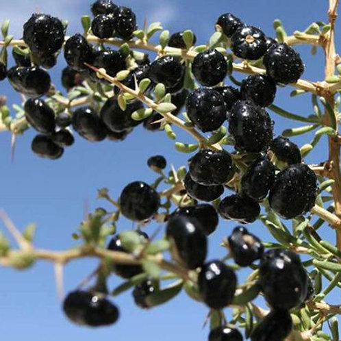 Black Goji Berry (wolfberry) - 1 gallon pot