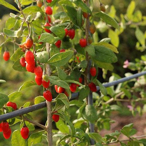 Scarlet Goji Berry - 1 gallon pot