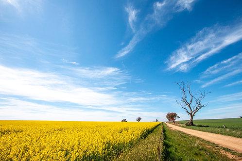 Cowra Canola 12 - Cowra, NSW