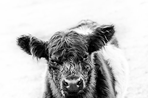 Belted Galloway Calf