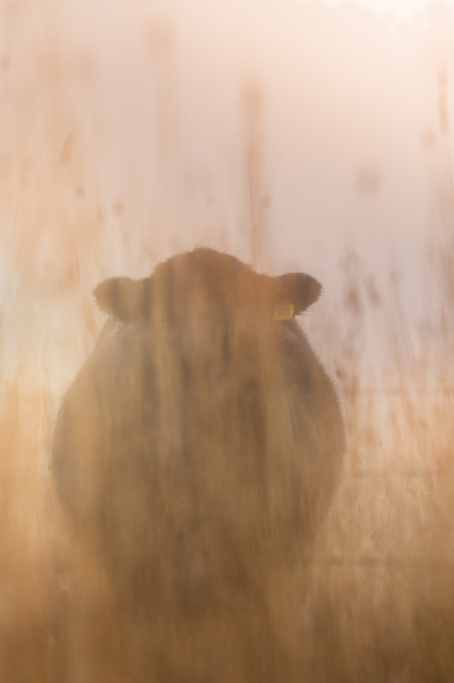 Curious Cow 2 - Millthorpe, NSW