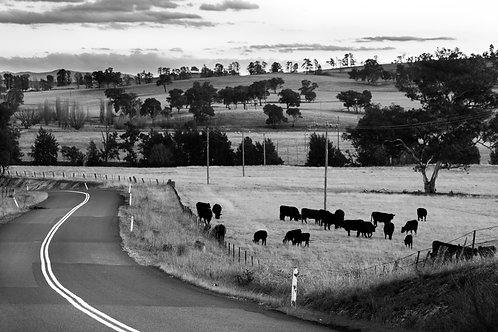 Late Afternoon Grazing - Bathurst, NSW